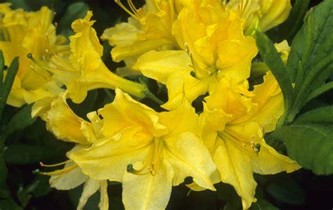 Set Kulot Azalea Yellow grobe s nursery and garden centre shrubs5