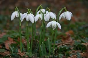 1000 images about snowdrops on pinterest