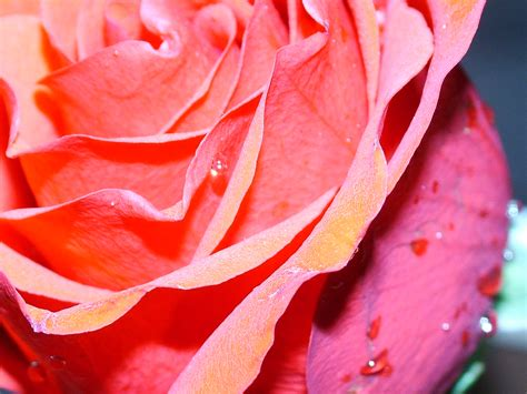 Make Crepe Paper Roses - how to make a crepe paper bouquet flower