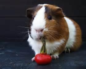 guinea pigs guinea pigs wallpaper 15107536 fanpop
