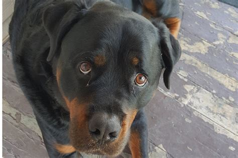 rottweiler beastiality i no words judge stunned by perv who performed on