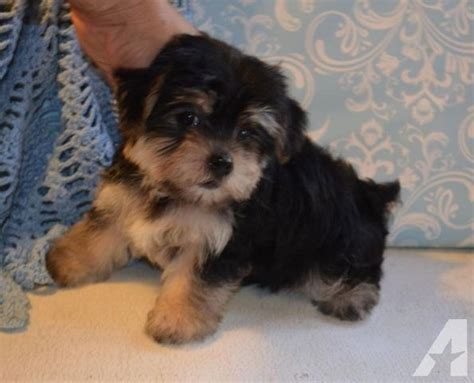 yorkie puppies for sale on ebay stunning maltese yorkie puppies morkies for sale in big cove tannery