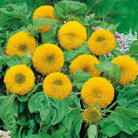 Sun Flower Boneka bibit sunflower teddy