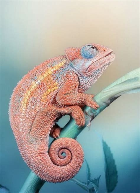Cd Paket B Chameleons 17 best images about all about chameleons on madagascar reptile tanks and crested gecko