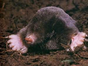mole control how to get rid of moles mole removal
