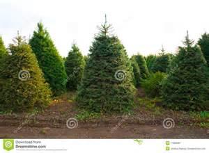 christmas tree farm royalty free stock photography image