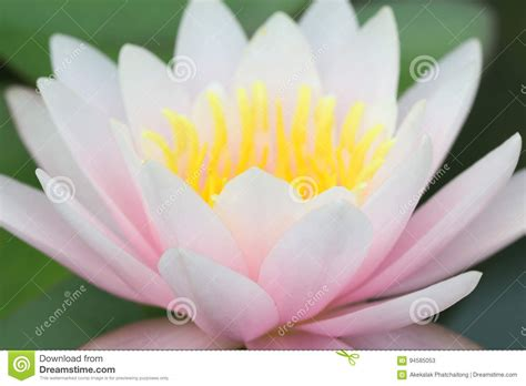 water flower bloom water sparkle lotus flower water up of yellow pink lotus flower or water flowers