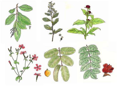 imagenes de flores medicinales dibujo de plantas medicinales imagui