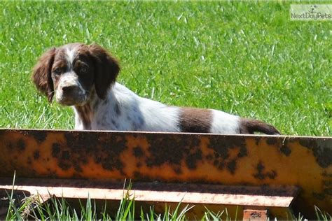 morgan setter dog morgan english setter puppy for sale near pittsburgh
