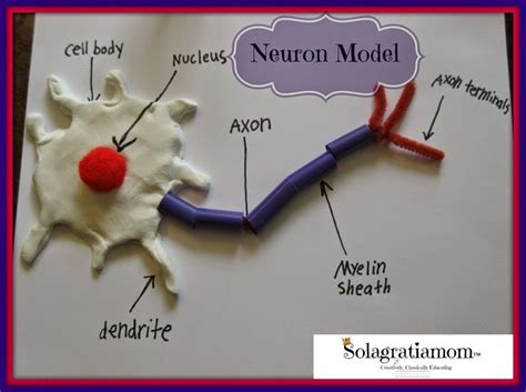 model of a motor neuron 25 best ideas about nervous system on nerve