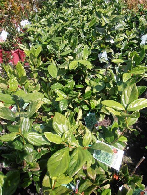 viburnum suspensum landsdale plants