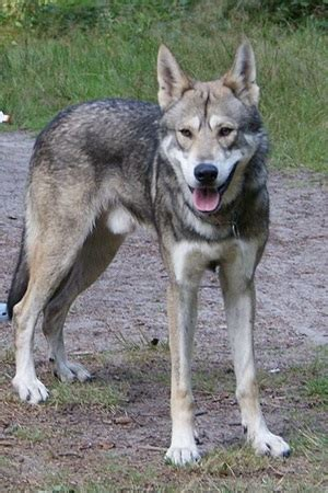 breeds that look like wolves breeds that look like wolves