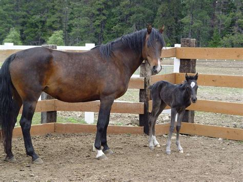 morgans for sale horses for sale guide