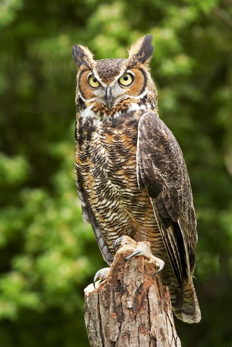 about the great horned owl