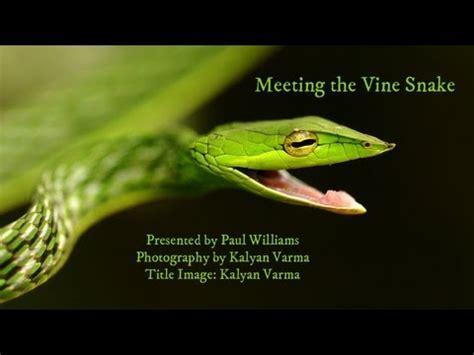 amazing cute baby vine snake stretches youtube