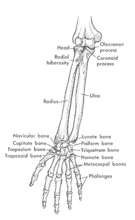 forearm bones diagram archives page 2 of 2 human anatomy chart