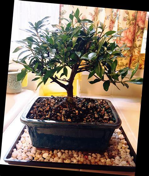 gardenia japonica radicans  bonsai  christmas