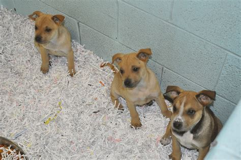 local puppies for adoption german shepherd puppy up for adoption local news valleymorningstar breeds picture