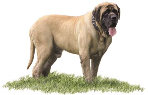 bullmastiff puppies ohio about whispering wind bordeaux and mastiffs
