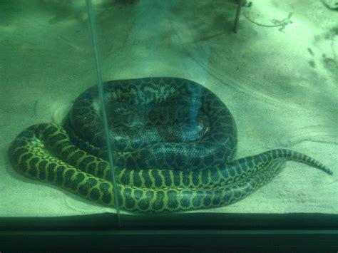 zoologischer garten berlin aquarium yellow anacondas at the zoologischer garten berlin