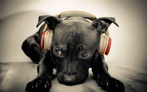puppy with headphones black with headphones hd desktop wallpaper