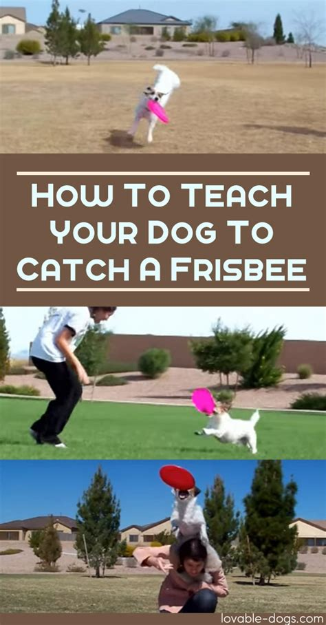 how to to catch frisbee lovable dogs how to teach your to catch a frisbee lovable dogs