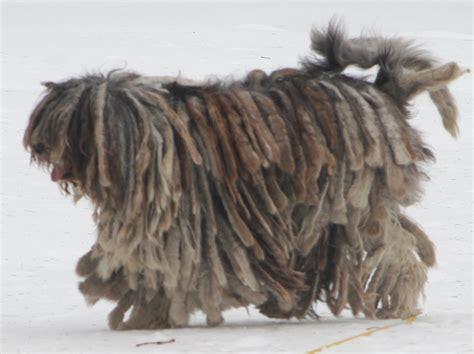 bergamasco puppies walking bergamasco shepherd photo and wallpaper beautiful walking bergamasco
