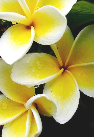 fiori tropicali nomi fascinoso fiorito fragrante frangipane extrait