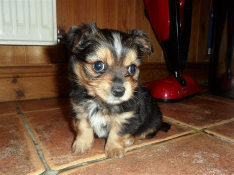chorkie puppy chorkie yorkie chihuahua mix info temperament puppies pictures