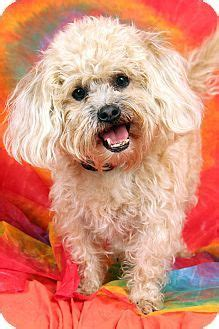 shih tzu st louis 1000 ideas about shih tzu mix on dogs for adoption white chihuahua and