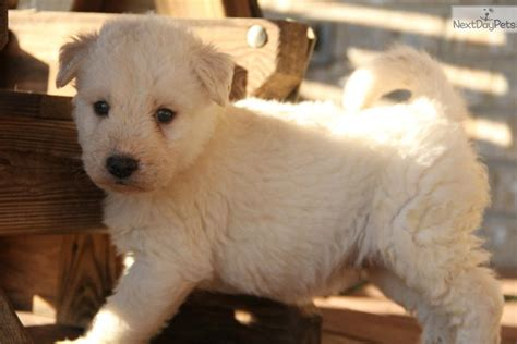 siberpoo puppies for sale siberian husky puppy for sale near bowling green kentucky f630964a fa21