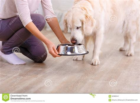 dog only eats from hand caring woman feeding the dog stock photo image 62985041