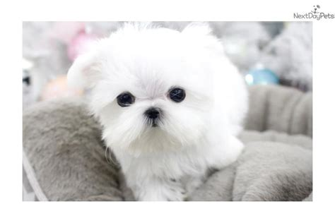maltese puppies for sale near me maltese puppy for sale near seattle tacoma washington ba0ee417 c2b1