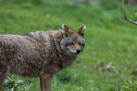 coyote hybrid wolf coyote coywolf understanding wolf hybrids just got a bit easier cool green