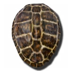 Mark Sikes Beautiful tortoise shell summerfield