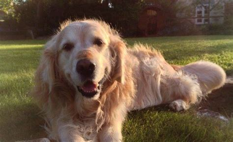 why do golden retrievers put their paw on you cancer in golden retrievers is on the rise it s time to find out why barkpost