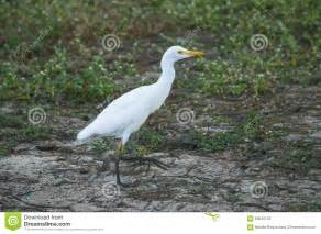 Small White Small White Heron Stock Photo Image 63545133