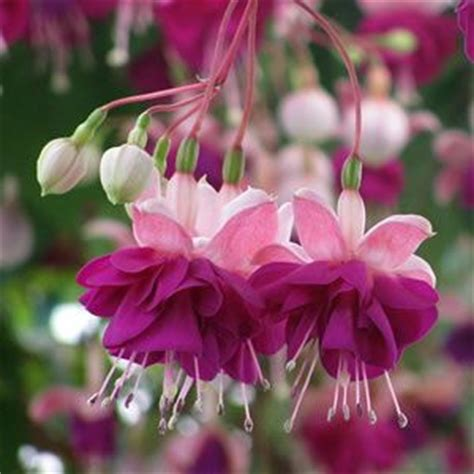 flowers suitable for new year 110 best fuchsia images on