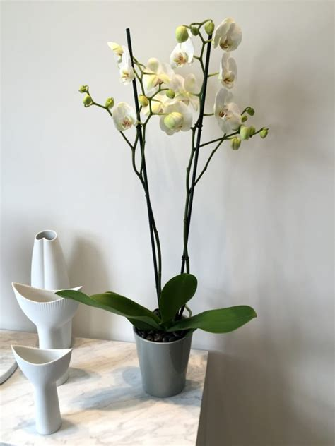 orchid delivery phalaenopsis orchid delivery same day flowers by flourish