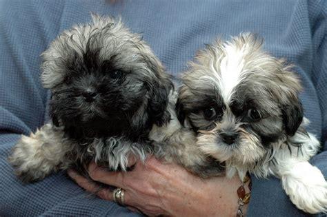 puppy rescue illinois teddy rescue in illinois breeds picture