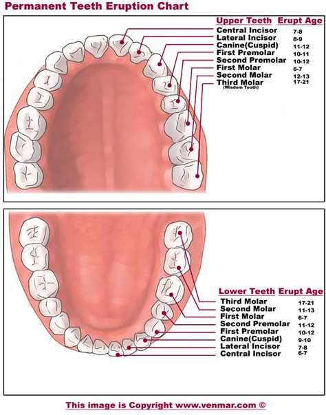 permanent teeth diagram illustration diagram of dental diagram of teeth wiring diagrams