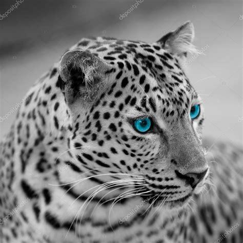imagenes de jaguar blanco jaguar blanco y negro foto de stock 169 piyagoon 66495693