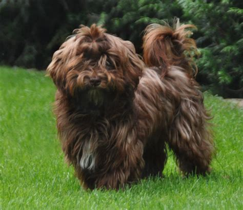 havanese chocolate brown colors colours in havanese havaneser farben info chocolate brown colour color