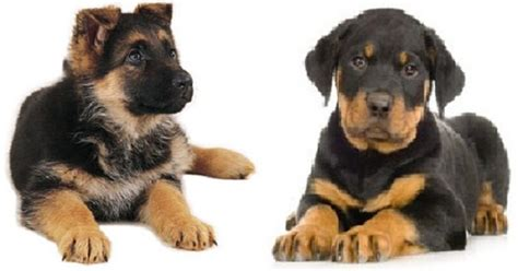 rottweiler shepherd mix puppies for sale cool pets 4u rottweiler and german shepherd mix puppies