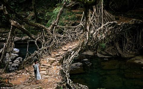 what is root bridge meghalaya villagers create living bridges by training roots across a river daily mail online