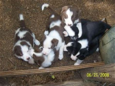 border collie puppies for sale in nc border collie puppies for sale