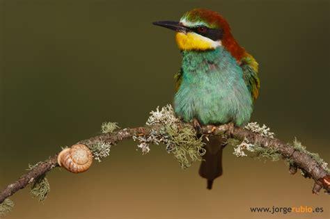 foto burung  galeri om kicau