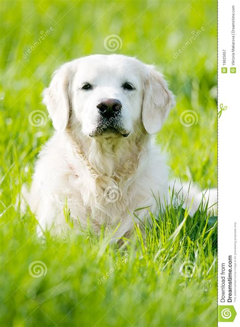 golden retriever summer golden retriever portrait in summer royalty free stock photography image 19625657