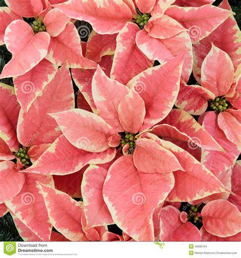 fiori a stella fiori rosa della stella di natale fotografia stock