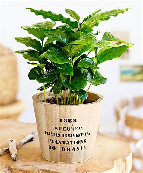 piante vaso acquista pianta caff 232 vaso in legno bakker